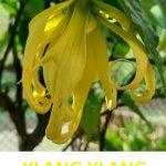 Rozdíl mezi esenciálními oleji kanangou a ylang-ylangem
